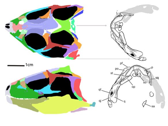Figure 1. Eohyosaurus reconstructed. This taxon nests between, Trilophosaurus + Azendohsaurus and the Rhychosauridae.