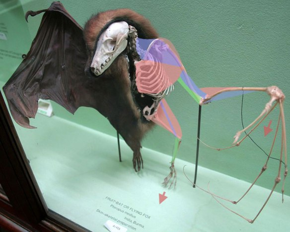 Figure 3. Fruit bat (Pteropus) skeleton with hypothetical muscles added).