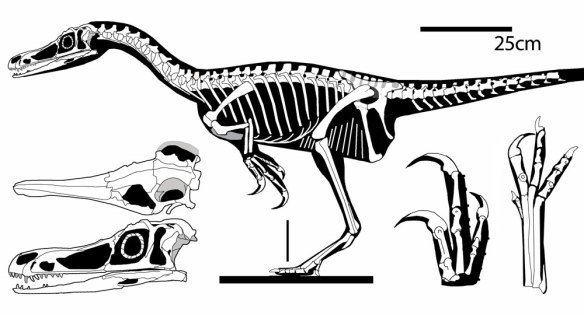 Figure 1. Haplocheirus sollers traced from several photos. This specimen is 10 million years older than Archaeopteryx and tens of million years older than dromaeosaurs and alvarezsarids.