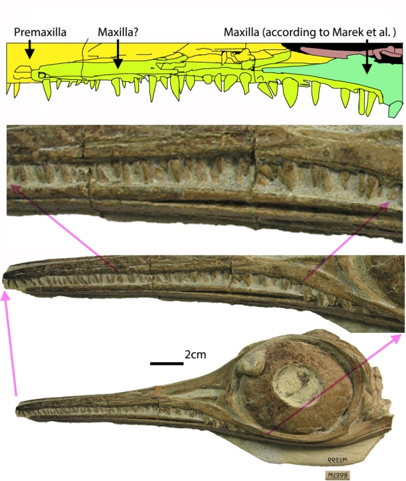Figure 5. The disputed maxilla in BRLSI M1399. Marek et al. colorized the maxilla only to the anterior naris, but that might be a break. Some sister taxa extend the maxilla beyond the the naris and the tiny teeth at the thin anterior of the new maxilla both indicate a possible error was made, mistaking a break for a suture. If valid, this is what DGS can do. Click to enlarge.