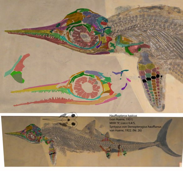 Figure 4. A more complete but crushed specimen of Hauffiopteryx along with tracings and reconstructions of key parts.