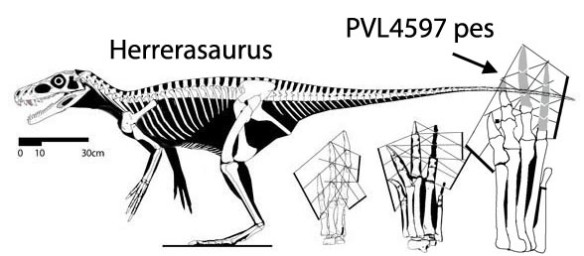 Figure 6. Herrerasaurus and the PVL4597 pes compare well with the traditional Middle Triassic Cheirotherium track.