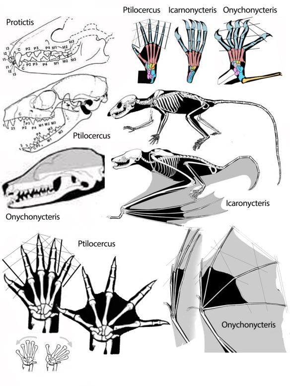 Figure 2. Selected details of Ptilocercus and Onychnycteris.