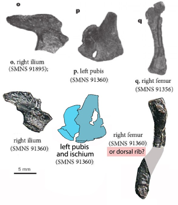 Figure 3. Comparing elements from different Pappochelys specimens to scale. The ilia do not match. Nor do the femora. The 91360 specimen is identified here as a dorsal rib. What Schoch and Sues identified as a pubis would not fit on the ilium of the same specimen. I think they show two bones, the pubis and the ischium as illustrated here.