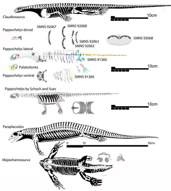 Figure 6. Pappochelys compared to placodont sister taxa and compared to the Schock and Sues reconstruction, which appears to have several scale bar errors and underestimated the number of dorsal vertebrae. Click to enlarge. So few ribs and vertebrae are known for Pappochelys that their order, size and number could vary from that shown here. Note the ribs of Paraplacodus are also expanded. The number of dorsal vertebrae is unknown and probably more than nine based on sister taxa.