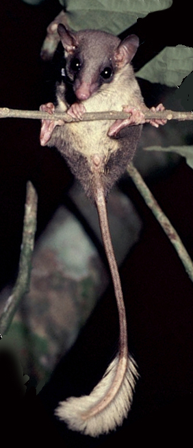 Figure 3. The pen-tailed tree shrew, Ptilocercus, the closest living non-flying relative of bats. Note the pose, perpendicular to the narrow branch. It arrived there by leaping from one branch to another, rather than walking along the length of the branch. When pen tails