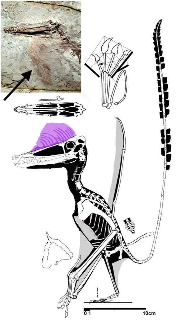 Figure 2. Pterorhynchus with soft tissue.