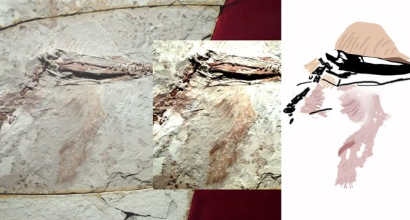 Figure 1. Pterorhynchus dewlap. Is this a feathery beard? Has it been torn off of another part of the body? Does it even belong to this pterosaur?