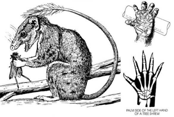 Figure 5. Ptilocercus in vivo, holding prey with its small hands while eating it.