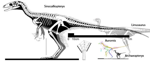 Figure 2. Sinocalliopteryx along with Limusaurus, Aurornis and Archaeopteryx to scale.