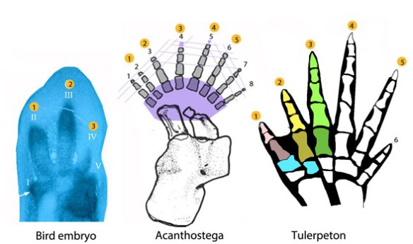 Figure 3. Manus of a bird embryo, and two basal tetrapods, Acanthostega and Tulerpeton, the latter with digits 1-3 colorized like the birds in figure 2. Note the extra medial digit in Acanthostega.