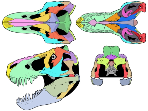 Figure 1. The skull of Tyrannosaurus rex in several views, bones colorized to aid identification and extent. The dorsally expanded parietal shield anchored large neck muscles to hold the giant skull in place and handle the high stresses involved with every skull slam on its dinosaurian prey. It would be great if all paleontologists started illustrating skulls and skeletons with colors as it is so much easier to understand. Many do already.