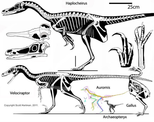 Figure 1. Haplocheirus sollers traced from several photos. This specimen is 15 million years older than Archaeopteryx and tens of million years older than dromaeosaurs and alvarezsarids. Click to enlarge. Note the robust pedal digit 2 and manual digit 1.Haplocheirus sollers (Choiniere et al. 2010 Late Jurassic, 150 mya, 2m long) is a a theropod dinosaur from the Jurassic that nests at the base of the alvarezsaurids (including Mononykus and Shuvuuia) and also basal to the Cretaceous dromaeosaurids (including Velociraptor), ~and~ basal to Jurassic proto-birds (including Aurornis, Fig. 2).