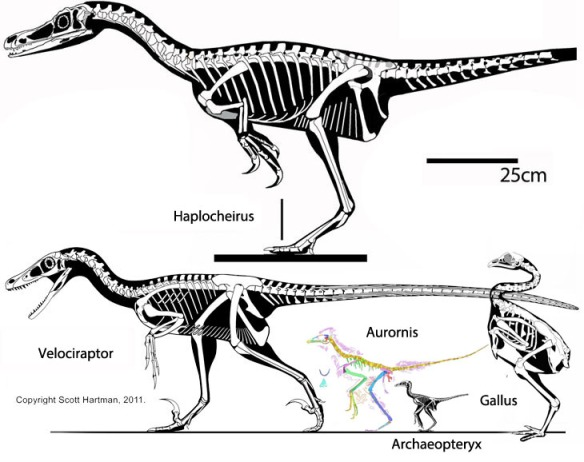 Figure 1. The ancestry of birds illustrated by Haplocheirus, Velociraptor, Aurornis, Archaeopteryx and Gallus.