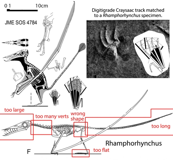Figure 5. Quadrupedal Rhamphorhynchus by Witton (below) with errors noted and compared to bipedal alternative.