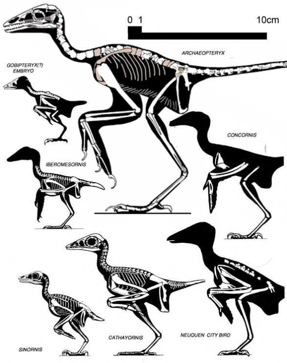Figure 1. Archaeopteryx and several other basal birds. Here Archaeopteryx is a relative giant. This is an older illustration, predating all of the recent and now, not so recent, finds from China. The wings, sternum and tail are derived in the smaller birds. That's the smallest Archaeopteryx, the Eichstätt specimen.