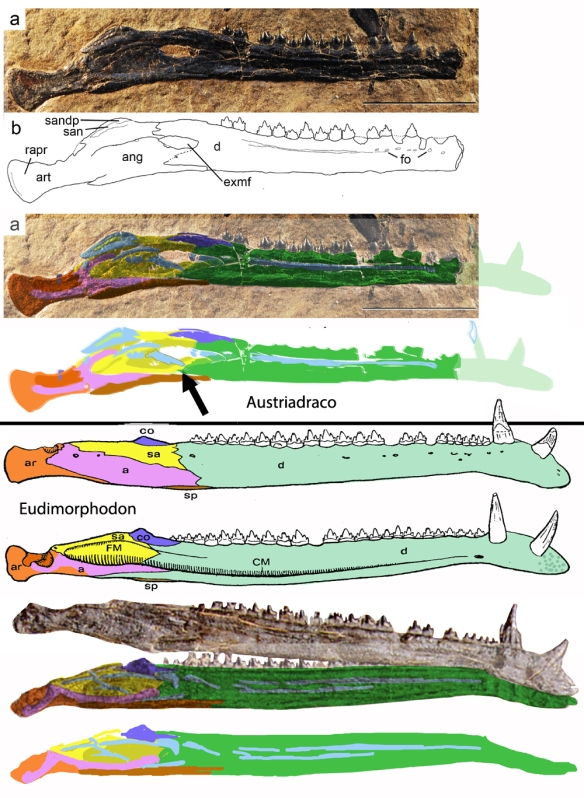 Figure 1. Austriadraco, BSp 1994 I51, a Triassic pterosaur mandible. Is it exposed in medial view or lateral view? Below the line is Eudimorphodon, which preserves mandibles in lateral and medial view. Which one is more similar to Austriadraco? You decide. Click to enlarge. Also note the tiny mandibular fenestra in the lateral view of Eudimorphodon not replicated on the medial view and apparently caused by a shift in the covering bone. Arrow points to apparent broken strip of bone that would otherwise have made the long light blue bone continuous.