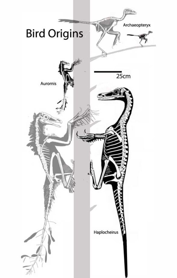 Figure 2. Bird origins should be shown in a vertical format as big tree clingers evolved through phylogenetic miniaturization through Aurornis to become perching taxa, like Archaeopteryx.  Black images are to scale. Gray images are enlarged to show detail.