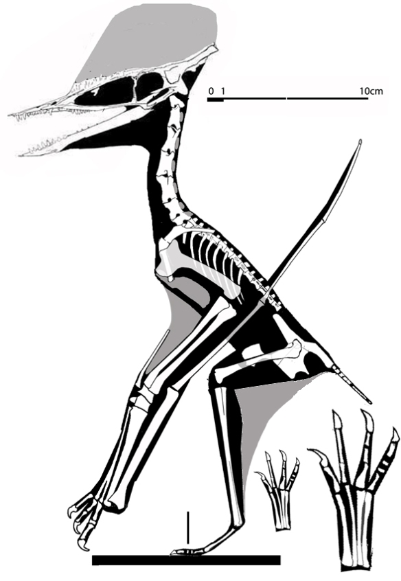 Figure 2. Germanodactylus cristatus in lateral view, bipedal/quadrupedal configuration.