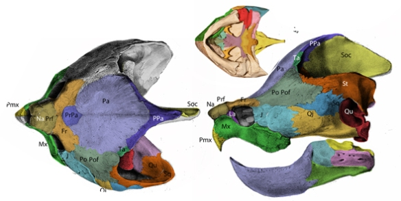 Figure 1. Macrochelys (Macroclemys) skull colorized. Most workers label the bone above the curled quadrate as a squamosal, but here it is considered a supratemporal, which has horns in basal turtles.