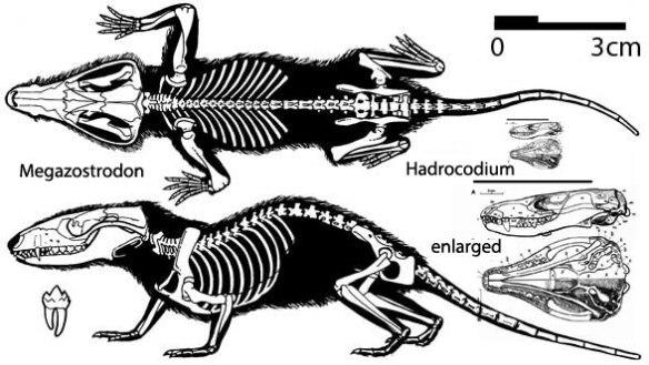 Figure 1. Megazostrodon, an early mammal, along with Hadrocodium, a Jurassic tiny mammal.