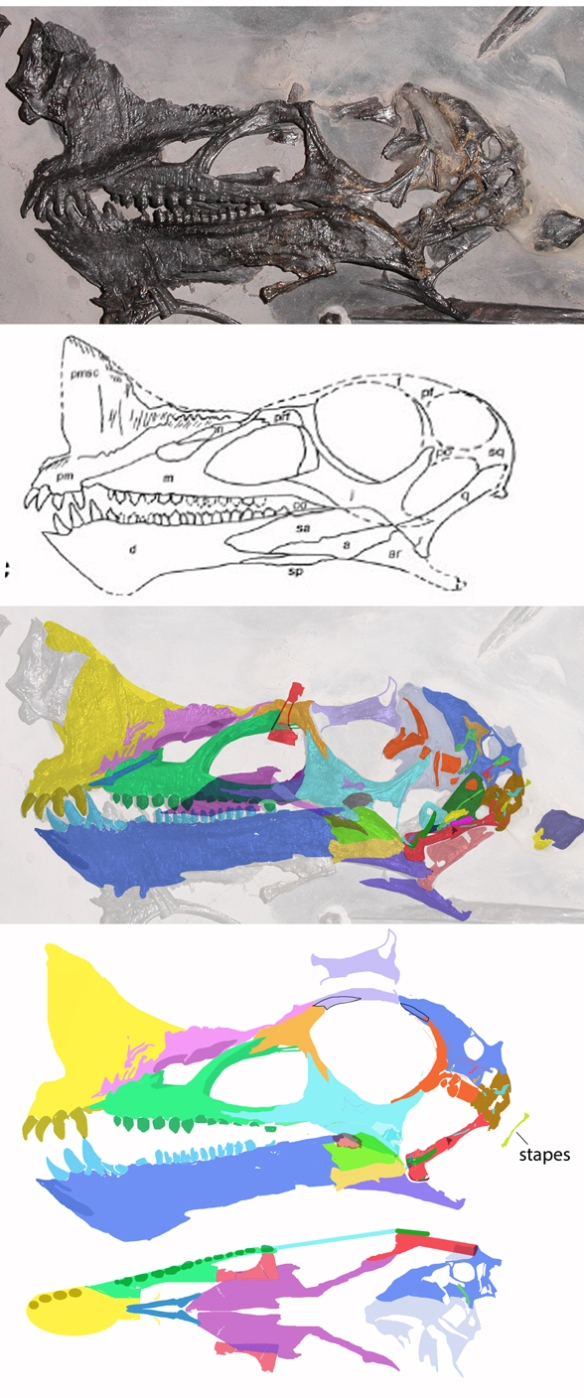 Figure 1. Raeticodactylus skull. Above, in situ and as originally interpreted. Middle: DGS tracing in color. Below: Reconstruction in lateral and palatal views. The missing part of the jugal may have lodged over quadrate, as it appears. The postorbital is broken into several pieces. The nasal extends a laminated layer over the premaxilla. The posterior pterygoid process is broken in situ and repaired here. One vomer is aligned with the premaxilla/maxilla suture. An ectopalatine (ectopterygoid + palatine) is displaced beneath the lacrimal. The mandible bones do not match the original drawing, but are closer to Eudimorphodon and other sister taxa. In all pterosaurs, the dentary approaches the coronoid process.