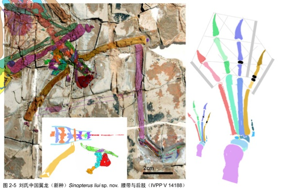 Figure 2. Sinopterus liui pelvic region and hind limb colorized and reconstructed using DGS. While the pectoral region is exposed in dorsal view, the placement of metatarsal 1 on top here indicates a ventral view. The fibula is underneath the tibia here. We're also seeing the ventral distal femur.