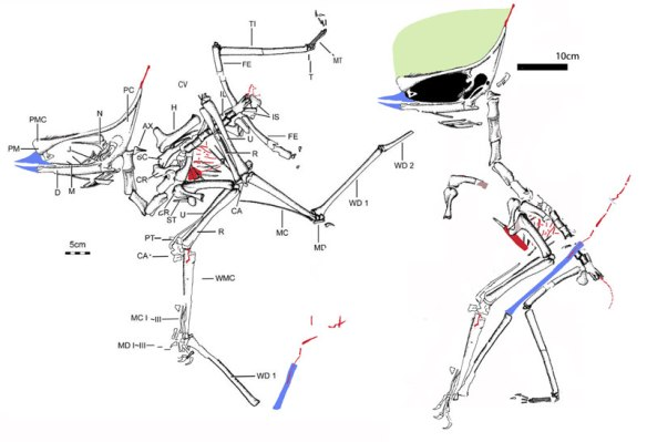 Figure 1. Sinopterus liui reconstructed from the original tracing of Meng Xi thesis for Masters degree.