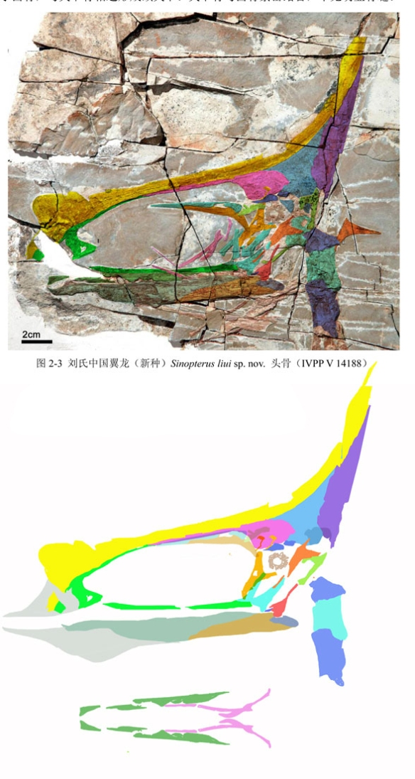 Figure 4. Sinopterus iui skull in situ and reconstructed using DGS. That small orbit is distinct from Sinopterus and similar to Tupuxuara.