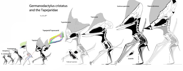 Figure 2. Tapejaridae. Sinopterus liui is indeed larger than other Sinopterus specimens.