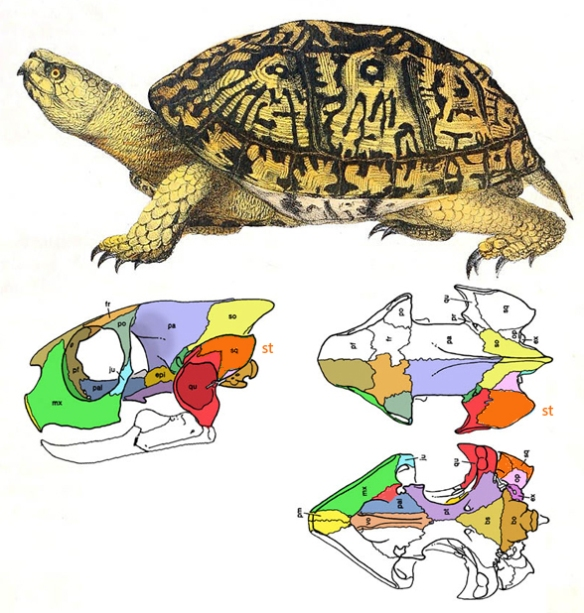 Figure 4. Terrapene, the box turtle, with skull bones colorized. Note the lack of a dermal skull and the appearance of the cranial skull, the braincase.