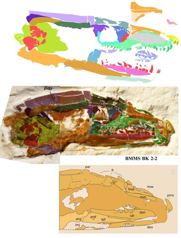Figure1. The skull of Tetrapodophis in situ and colorized (middle) as originally interpreted (below) and reconstructed using DGS (above). I have not seen the fossil, but examination of the photograph using DGS permits more details to be identified. This image will be tested for validity Monday. Only the major bones were identified here. The skull is about 1 cm in length.