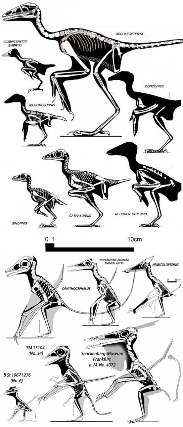 Figure 1. Tiny pterosaurs and tiny birds to scale showing that tiny pterosaurs were generally about the size of the tiny Early Cretaceous bird.