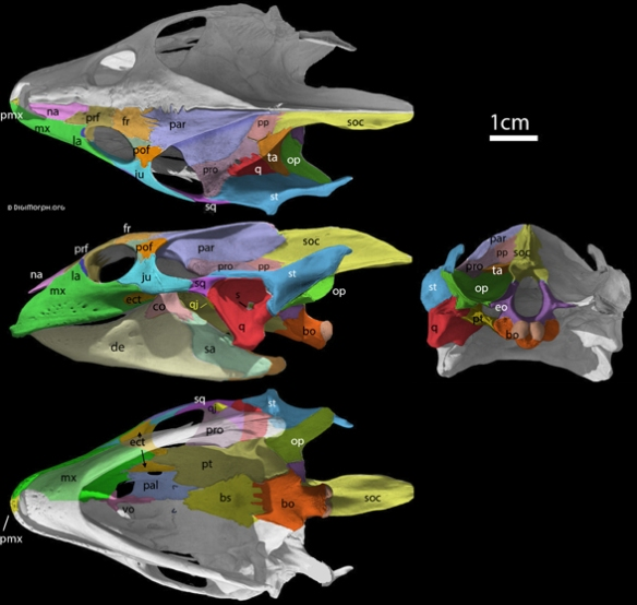 Figure 3. Trionyx, a softshell turtle with bones colorized.