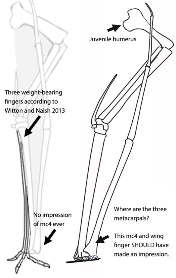 Figure 3b. Zhejiangopterus fingers. Witton and Naish want you to believe that these three fragile fingers on three spaghetti-thin metacarpals are suitable weight-bearing bones - OR that mc4 is a weight-bearing bone. Neither is true. Metacarpal 4 NEVER makes an impression. The wing finger NEVER makes an impression. They were both held above the substrate in ALL pterosaurs.