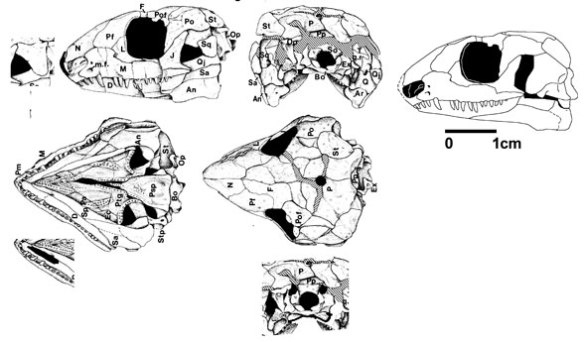 Figure 3. The earlier attempt at reconstructing the skull of Acleistorhinus based on drawings in
