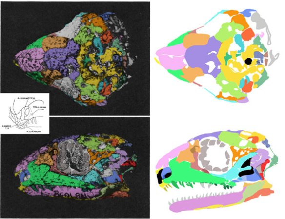 Figure 1. Acleistorhinus skull with bones colorized (on left) along with reconstructions in dorsal and lateral view (on right). Note the distinct jugal restored here with two posterior processes arising from the postorbital process, as in Delorhynchus.