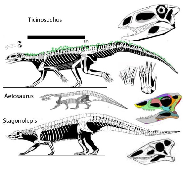 Figure 1. Aetosaurus, Stagonlepis and Ticinosuchus shown together to scale. Ticinosuchus is the basalmost taxon in this clade, unrecognized by other cladograms. Perhaps this is due to differences in skull reconstructions.