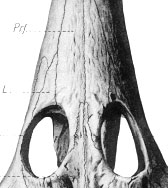 Figure 4. How Barnum Brown illustrated the preorbital region of Champsosaurus, without a hint of a dimple or antorbital fenestra.