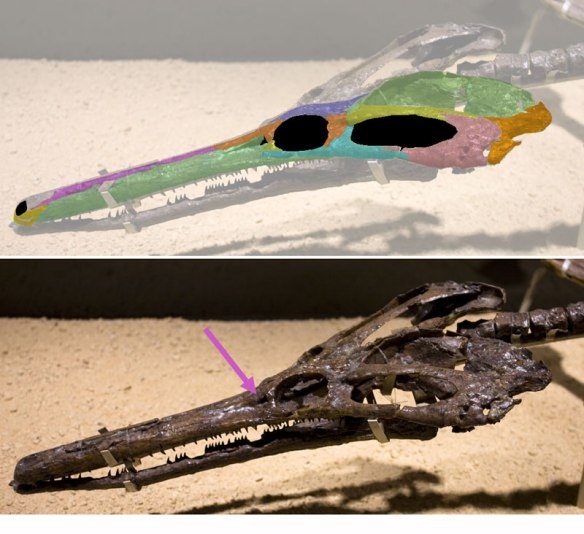 Figure 2. This specimen of Champsosaurus appears to retain a tiny antorbital fenestra. Is this replicated in other specimens?