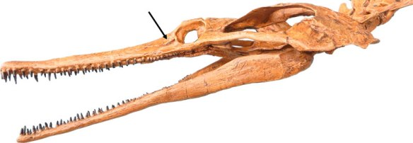 Figure 3. Cast of Champsosaurus from Triebold Palentology. Here again we see that dimple in front of the eye.