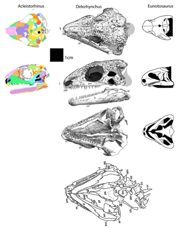 Figure 2. Acleistorhinus compared to sister taxa, Delorhynchus and Eunotosaurus.