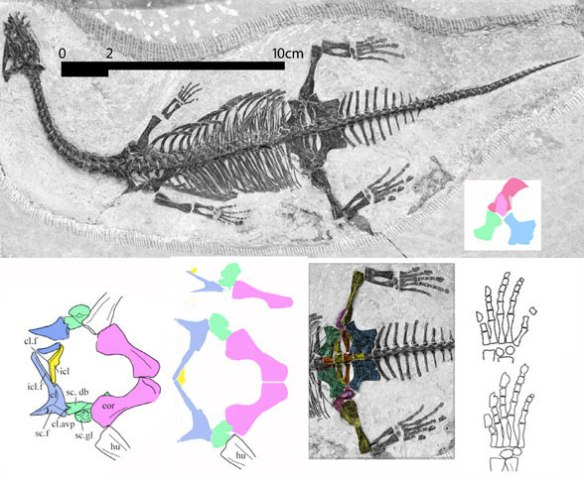 Figure 2. Diandongosaurus exposed in ventral view, skull in dorsal view. Note the small size. At 72 dpi this image is 6/10 the original size.The last common ancestor of Diandongosaurus and Pachypleurosaurus was a sister to Anarosaurus at the base of the Sauropterygia.