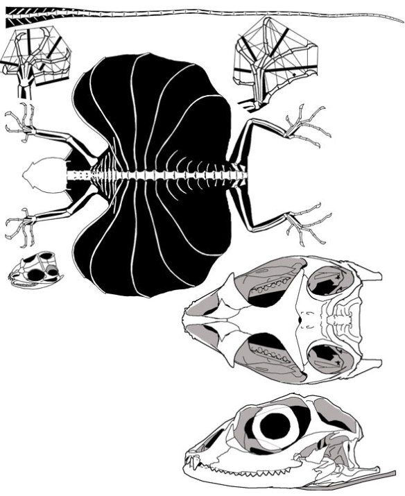 Figure 6. Draco volans a living true rib glider. Note the distinct skull morphology, closer to that of Iguana than to Xianglong.