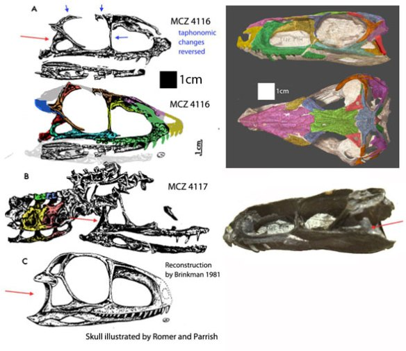 Figure 1. MCZ 4116 a short-faced Gracilisuchus compared to the holotype with a longer face.