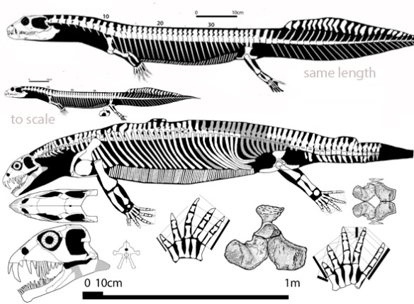 Figure 4. Helveticosaurus had cheek teeth that look like baleen strainers and long fangs anteriorly. It was also much larger than Eusaurosphargis but was coeval. Vancleavea is shown to scale and to the same length.