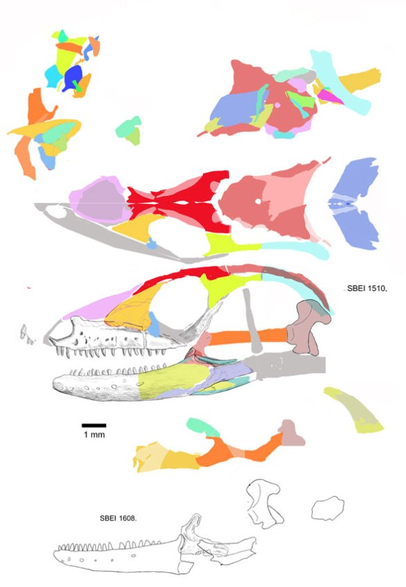 Figure 1. The skull of Kuroyuriella reconstructed from bone scraps (above), most of which are layered on top of one another. Not all elements are identified, but enough are to nest this taxon with Ophisaurus.