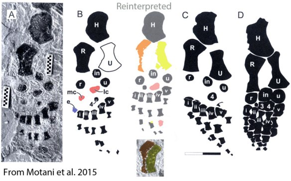 """Figure 1. Reinterpretation of Motani et al. 2015 showing how the purported radius could be a radius and ulna overlapping, the lateral centrale (lc) could be distal tarsals 3 and 4, and the medial centrale (mc) could be m4.2. Metacarpal """"0"""" could be a part of the ulna. No sister taxa have centralia."""