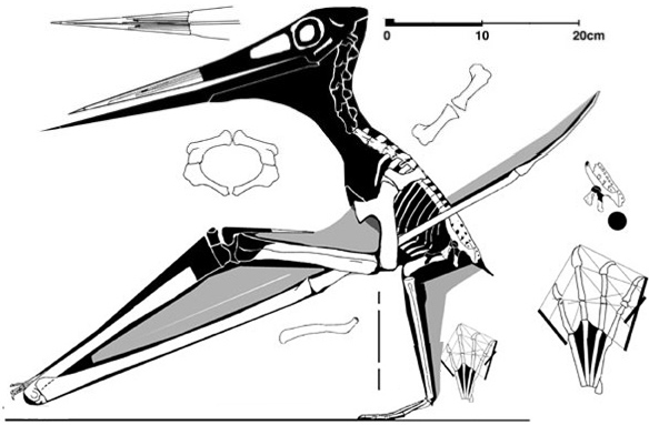 Figure 1. The UNSM specimen of Nyctosaurus, the only one for which we are sure it had only three wing phalanges.