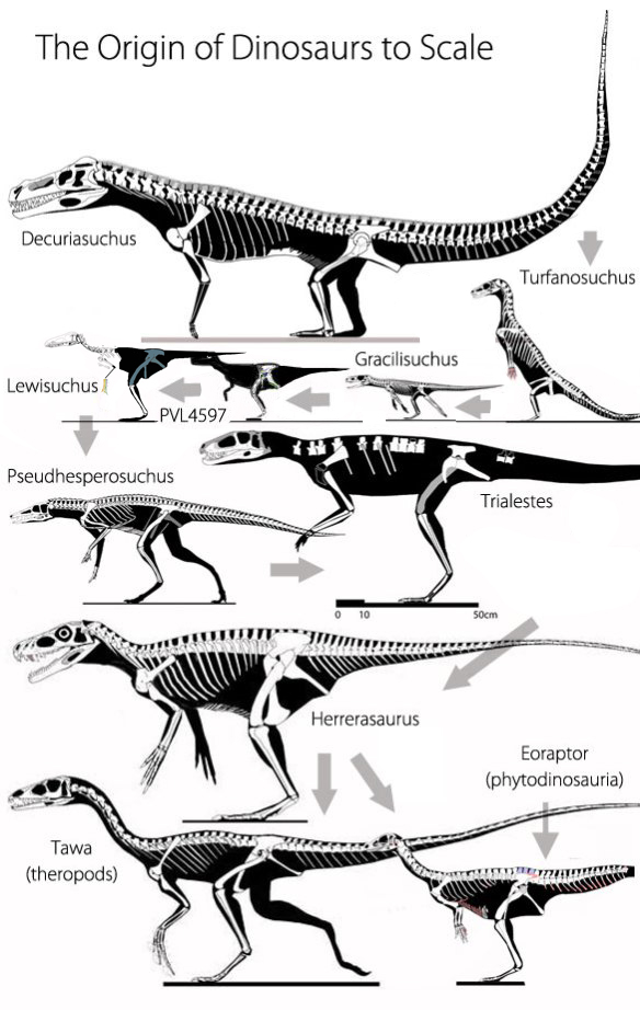 Figure 2. The origin of dinosaurs to scale. Gray arrows show the direction of evolution. This image includes Decuriasuchus, Turfanosuchus, Gracilisuchus, Lewisuchus, Pseudhesperosuchus, Trialestes, Herrerasaurus, Tawa and Eoraptor.